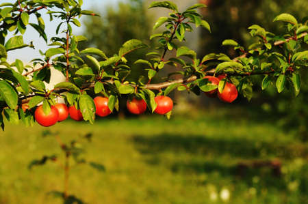 alycha: cherry plum branch in summer Stock Photo