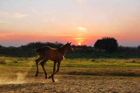 Running foal on sunset photo