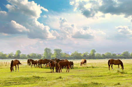 Herd in meadow eats green grass photo