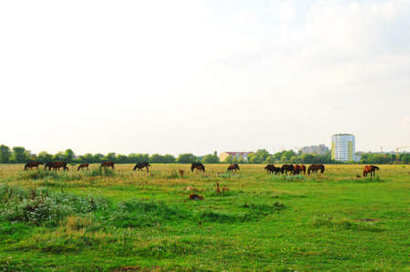 Hern in meadow eats green grass and buildings build on background photo