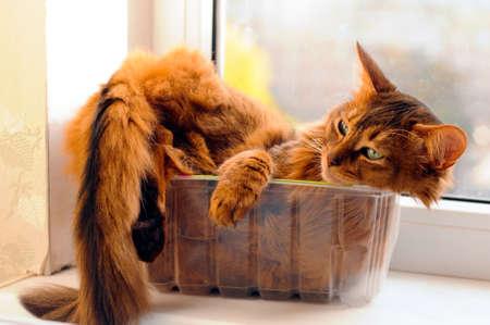 Cute somali cat lying inside plastic box photo