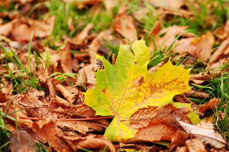 Dry leaves on green grass with one maple leaf closeup Stock Photo