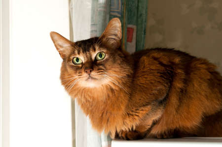 somali: Pretty purebred somali cat sits on refrigerator with angry look