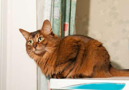 somali: Somali cat portrait Stock Photo