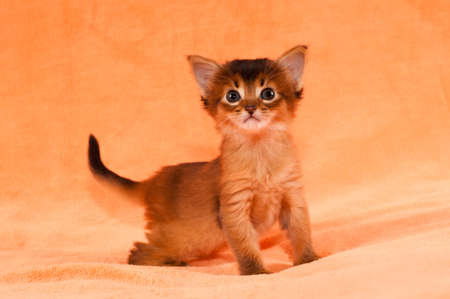 interested: Interested purebred one month somali kitten Stock Photo
