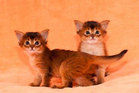 somali: Dos de pura raza gatitos somal�es retrato sobre fondo mirando a la c�mara