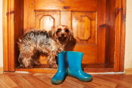 gum boots: Poor little dog near door with blue rubber boots, doeandn want go for a walk in rain Stock Photo