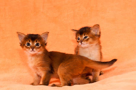 somali: Cute somali kittens with funny look of one to other