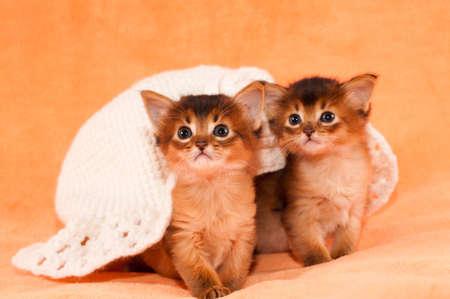 somali: Two somali kittens under white hat looking at camera