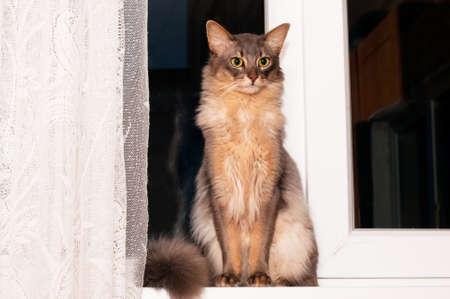 somali: Portrait of somali cat blue color sits in windowsill