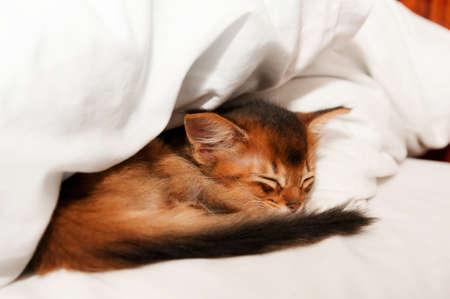somali: Sleeping purebred somali kitten closeup