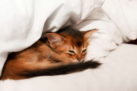 somali: Dormir pura raza somal� del gatito de cerca
