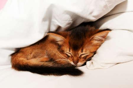 counterpane: Sleeping purebred somali kitten closeup