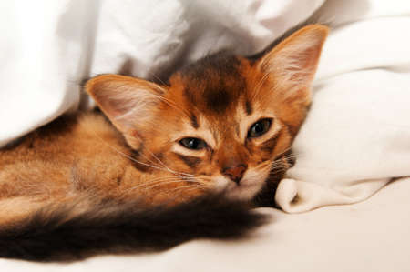 somali: Cute somali kitten lying on white bed and looking at camera
