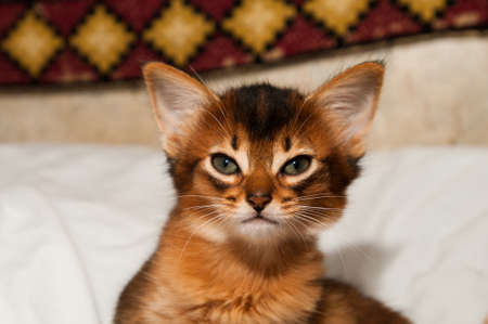 Portrait of purebred somali kitten sitting on bed and looking at camera photo