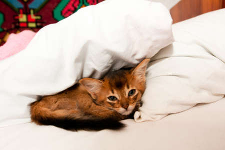 Cute little purebred somali kitten in bed lying and looking at camera photo