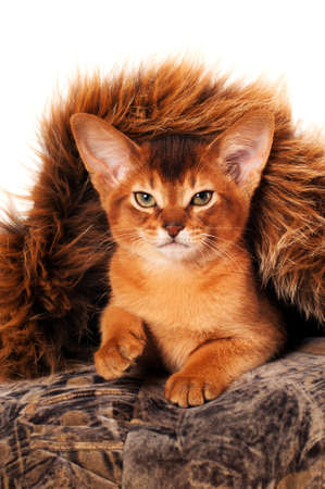 purring: Lovely abyssinian kitten portrait front view purring and looking at camera Stock Photo