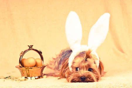 Cute dog like easter bunny lying portrait with eggs in golden basket. Retro photo effect.