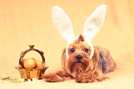 Cute dog like easter bunny lying portrait with eggs in golden basket. Retro photo effect. photo