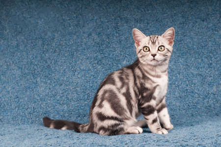 shorthaired: Purebred american shorthaired kitten portrait full lenth
