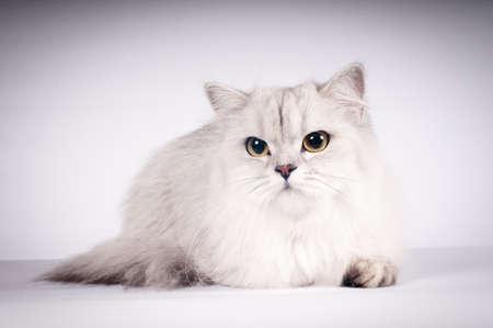 scottish straight: Scottish straight cat portrait silver color on white background
