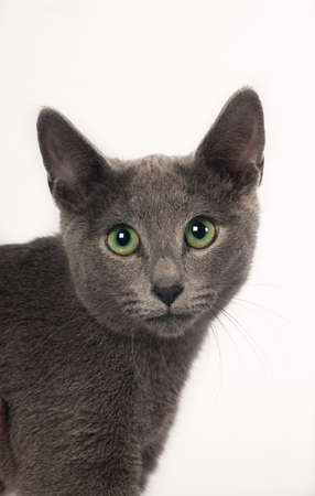 russian blue: Russian blue purebred kitten six month on white background