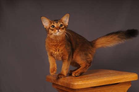somali: Somali kitten ruddy color standing on wooden chair Stock Photo