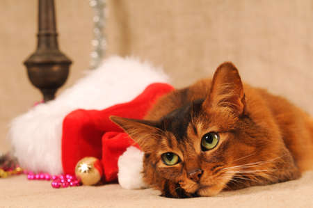 somali: Somali cat portrait with Santa hat near her