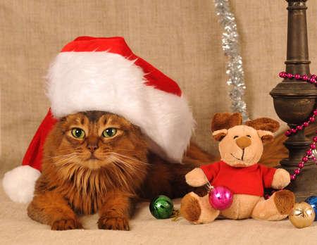 somali: Somali cat in funny Santa Claus red hat