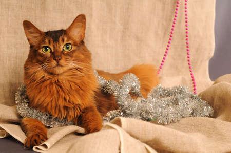 somali: Somali cat with Christmas decoration on beige