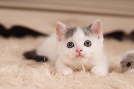 streight: Cute little kitten scottish streight portrait at home Stock Photo