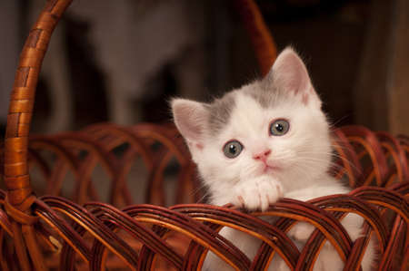 streight: Cute little kitten scottish streight portrait inside basket