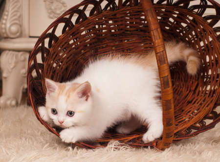 streight: Cute little kitten scottish streight plays at home Stock Photo