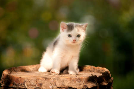front or back yard: Cute scottish kitten two month outdoor at summer Stock Photo