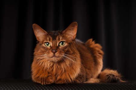 somali: Somali cat studio portrait on black background Stock Photo
