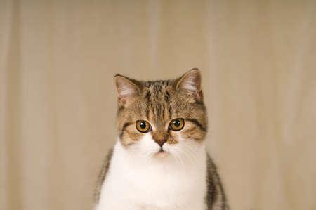 purebred: Pretty purebred scottish cat indoor studio portrait Stock Photo
