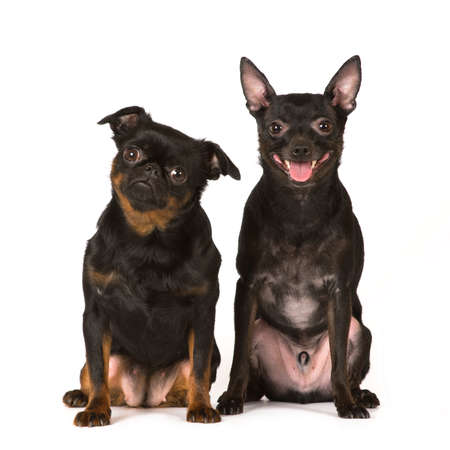 toy terrier: Pti brabanson and toy terrier on white background