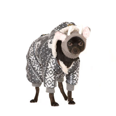 toy terrier: Cute toy terrier in funny winter jacket stands on shite background
