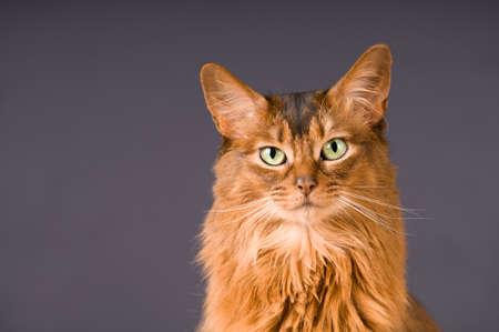 somali: Purebre Somali cat ruddy color portrait at studio