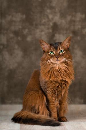 somali: Somali cat portrait at studio on wooden floor