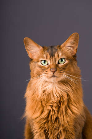 somali: Purebre Somali cat on the floor with