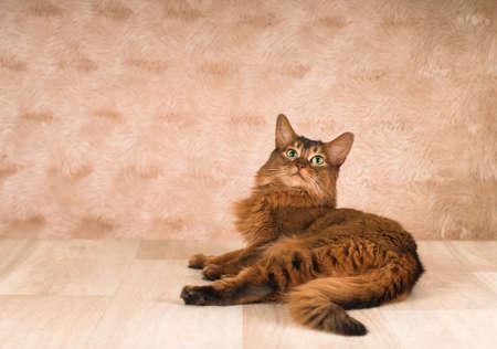 somali: Somali cat portrait lying at studio on light wooden parquet Stock Photo