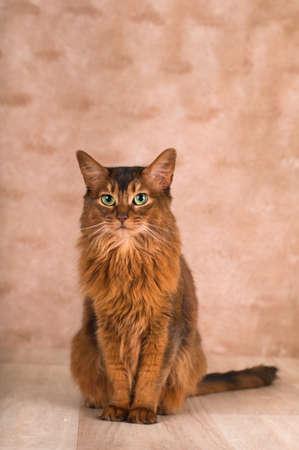 somali: Somali cat sitting and looking at camera portrait at studio