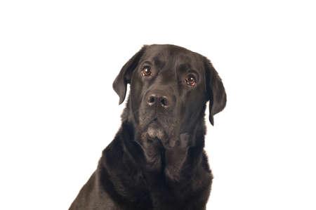 retreiver: Black labrador retreiver portrait closeup isoleted on white