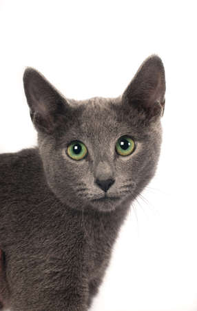 russian blue: Russian blue purebred kitten six month isolated on white background