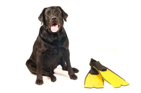 retreiver: Black labrador retreiver portrait with flippers isolated on white