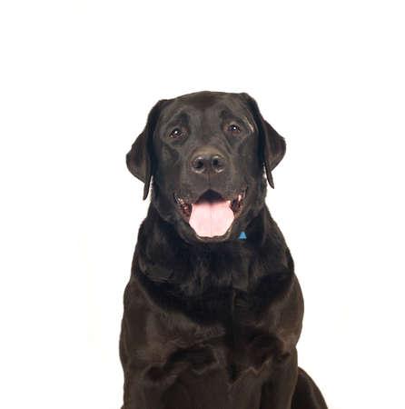 retreiver: Black labrador retreiver portrait isolated on white