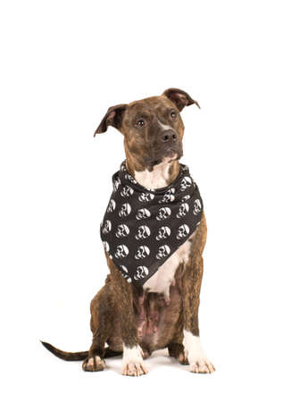 black and white pit bull: Pit bull terrier  isolated on white in black bandana with skulls