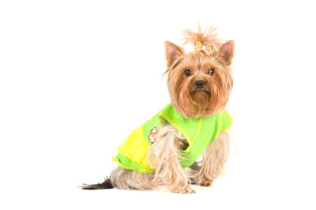 green clothes: yorkshire terrier portrait in studio isolated on white