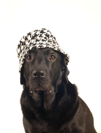 retreiver: Black labrador retreiver portrait closeup in hat Stock Photo
